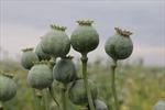 Phát hiện 200 cây thuốc phiện trồng trên nương rẫy ở Mộc Châu