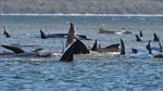 Australia nỗ lực cứu hộ hàng trăm cá voi mắc cạn