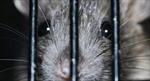 Chú chuột được trao huy chương vàng vì dũng cảm dò mìn