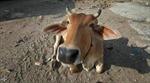 Chip làm từ phân bò của Ấn Độ sẽ giảm đáng kể bức xạ từ điện thoại
