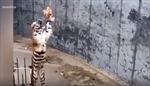 Bất bình với khách tham quan treo gà sống làm mồi nhử hổ tại sở thú Trung Quốc
