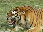 Hãi hùng nhân viên sở thú bị hổ vồ tử vong tại chỗ