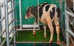 Video huấn luyện bò đi tiểu trong nhà vệ sinh đặc biệt để bảo vệ môi trường
