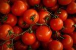 Nhật Bản bán cà chua chỉnh sửa gien giúp giảm căng thẳng và sợ hãi