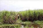 Giá thu mua mía thấp kỷ lục, nông dân Tây Ninh lỗ tiền tỷ