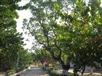 Cây di sản - cột mốc chủ quyền trên quần đảo Trường Sa