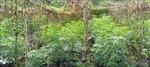 Phát hiện vụ trồng trái phép hơn 200 cây cần sa trong rẫy cà phê