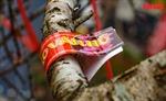 Cận cảnh 50 cành đào Vân Hồ được dán tem chứng thực 'không phải đào rừng'