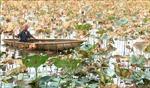 Trên 100 ha sen chết ở Thừa Thiên - Huế