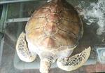 Mua được rùa quý hiếm nặng 30 kg, chủ nhà hàng chăm sóc để thả về biển