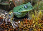 Phát hiện loài nhái túi mới trong rừng Amazon ở Peru