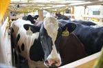 200 cô bò sữa hữu cơ 'cưỡi' máy bay từ Úc về Việt Nam