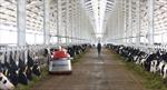 5,5 triệu hộp sữa tươi Vinamilk đến tay người tiêu dùng mỗi ngày từ hệ thống trang trại chuẩn Global G.A.P