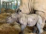 Vinpearl Safari Phú Quốc 17 ngày đón hai cá thể tê giác quý chào đời