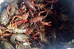 Kiểm soát, ngăn chặn tôm càng đỏ tại các cửa khẩu ở Lào Cai