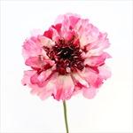 2.200 bông hoa Nhật 'nở rộ' giữa mùa đông Hà Nội tại triển lãm ' Japan in Flowers'