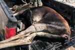 Nai sừng chết đuối vì bị đám đông vây kín chụp ảnh dồn xuống hồ