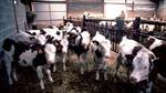 Anh phát hiện ca bò điên đầu tiên sau 10 nămu
