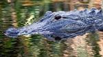 Cá sấu 'phê thuốc' vì người dân xả chất gây nghiện xuống toilet