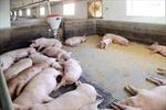 Triều Tiên nuôi thỏ lấy thịt, đối phó với dịch tả lợn châu Phi