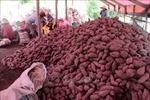 Khoai lang chỉ còn 4.500 đồng/kg, nông dân điêu đứng