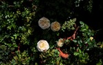 Hơn 200 giống hoa hồng ngoại hương thơm quyến rũ phục vụ Tết 2019
