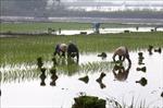 3 đợt cấp nước để gieo cấy vụ Đông Xuân