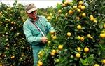 Làng trồng quất ở Thái Bình nhộn nhịp vào vụ Tết