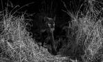 Phát hiện loài báo đen châu Phi quý hiếm