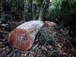 Đắk Nông: Phát hiện, tạm giữ 32m3 gỗ khai thác trái phép tại huyện Tuy Đức