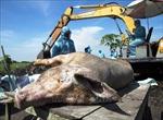 Bắt lợn thả rông bị dịch tả lợn châu Phi đi tiêu huỷ