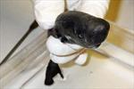 Loài cá mập 'tí hon' chỉ dài 14cm,có thể phát sáng trong đêm