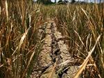 Đắk Lắk thiệt hại hơn 1.000 ha cây trồng do hạn
