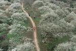 Gần 4.300 VĐV sẽ thi chạy qua những thung lũng hoa ở Mộc Châu