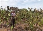 Thiệt hại hàng chục tỉ đồng do hạn hán tại Gia Lai