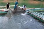 Hướng đi mới từ nuôi cá lồng trên lòng hồ thủy điện
