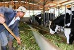 'Hái'ra tiền từ chăn nuôi bò sữa