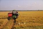 Giá lúa Hè Thu có xu hướng tăng