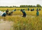 Bộ đội, dân quân tự vệ ngâm mình dưới nước giúp dân cắt lúa