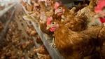 Đức tiêu hủy 29.000 con gà sau khi phát hiện một ổ dịch cúm gia cầmH5N8