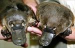 Xây dựng khu bảo tồn thú mỏ vịt đầu tiên trên thế giới