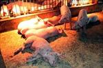 Tăng cường kiểm tra, xử lý việc buôn bán lợn bệnh, chết