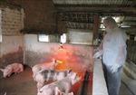 Kon Tum khẩn trương dập dịch tả lợn châu Phi
