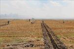 Trà Vinh tăng diện tích cây màu trên đất lúa kém hiệu quả