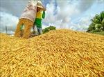 Giá lúa gạo có xu hướng tăng trong tuần qua