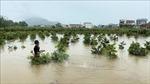 Nhiều vườn mai Bình Định vẫn ngập trong nước lũ