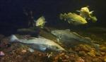 EU nhất trí nâng hạn ngạch đánh bắt cá tuyết Tây Baltic