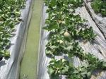 Hai nữ sinh chế tạo thành công màng phủ bảo quản dâu tây từ kén tơ tằm