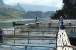 Đến năm 2020 sẽ không còn nuôi cá lồng tại vụng Nghi Sơn