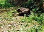 Đề nghị làm tiêu bản bò tót nặng 700 kg chết do già yếu
